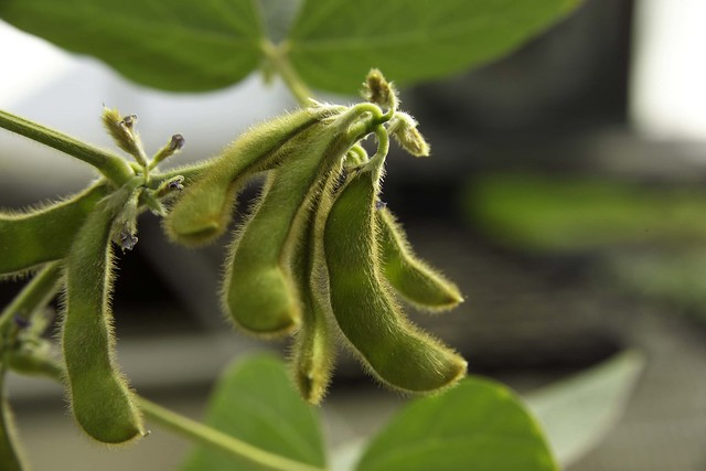 Soybean Pods from Flickr via Wylio