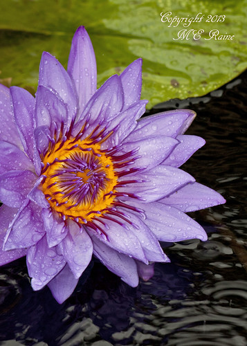 """plants rain waterlily purple conservatory tropical square"""" gardens"""" lily"""" """"water """"nature"""" """"lily """"flowers"""" """"longwood pads"""" """"pennsylvania"""" dayflowering """"gardens"""" """"kennett"""
