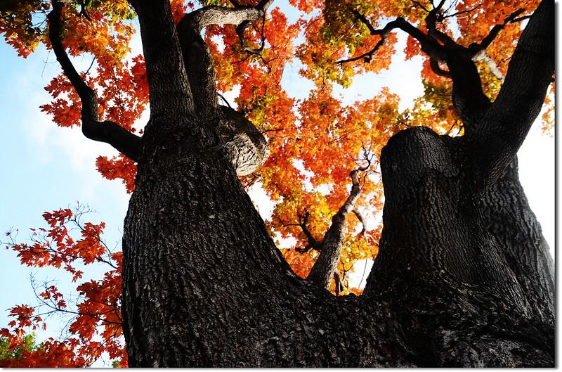 Sugar maple in Fall, Chautauqua, Boulder 4