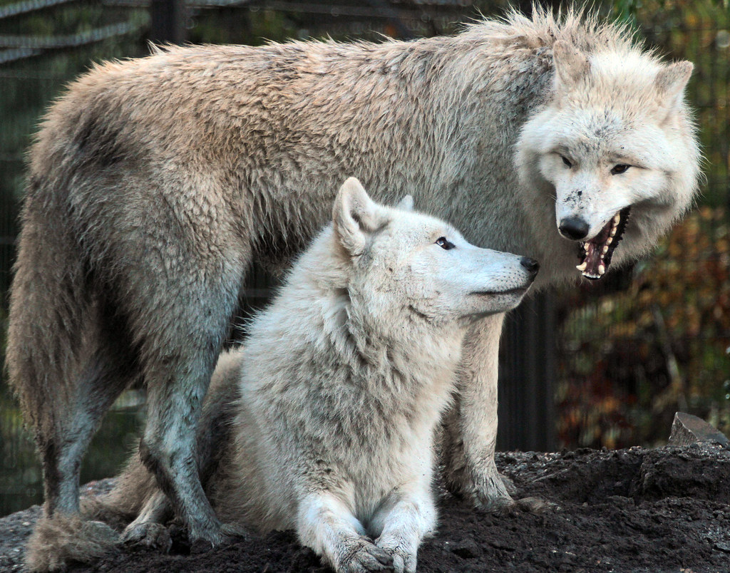 hudsonbay wolf artis IMG_0060