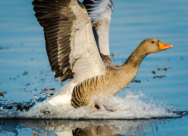 Grey Goose landing