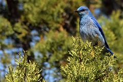 flower(0.0), branch(0.0), animal(1.0), nature(1.0), fauna(1.0), bluebird(1.0), blue jay(1.0), bird(1.0), wildlife(1.0),