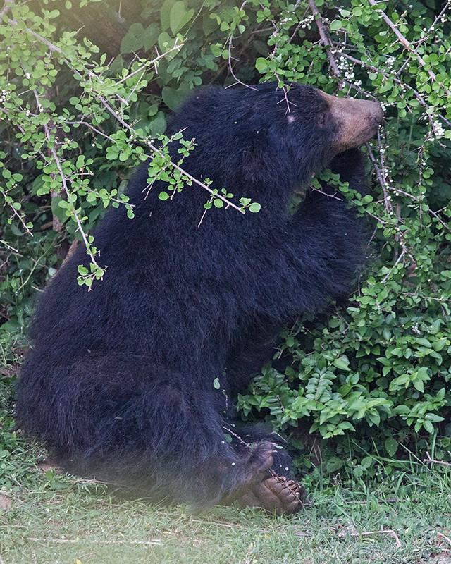 Sloth Bear  Sri Lanka 2013 2013-11-27 (4)