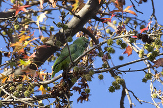 South Pasadena Parrot