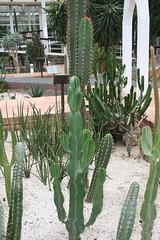 garden, plant, acanthocereus tetragonus, echinopsis pachanoi, cactus family,