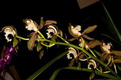 Cym. tracyanum 'Burmese Bronce'� Warren Stehle
