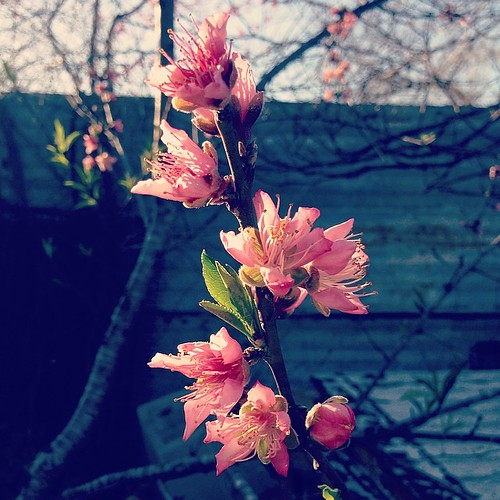 The nectarine blossoms are out in full force!