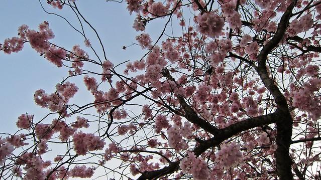 Kirschblüten-2014-Goldengelchen04