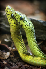 Green Mambas 03-13-14