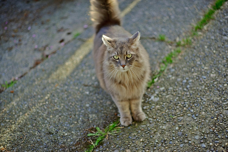家貓 (一張流)