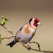 Goldfinch by StevieC-Photography