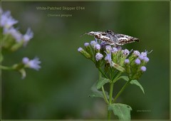 White-patched Skipper Texas butterfly photography by Ron Birrell,  DSC_0744