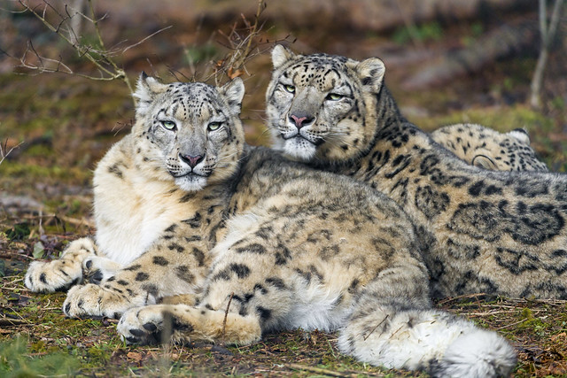 Snow leopard couple