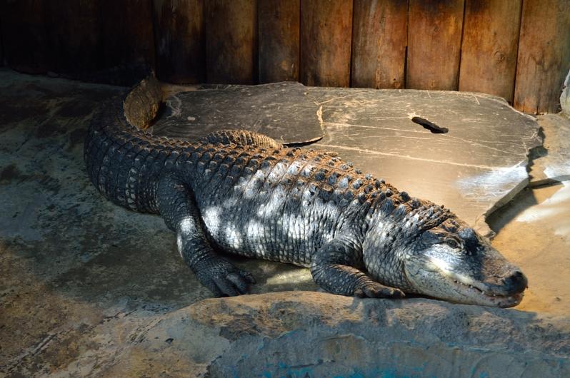 lara-vazquez-madlulablog-safari-madrid-crocodriles-alive