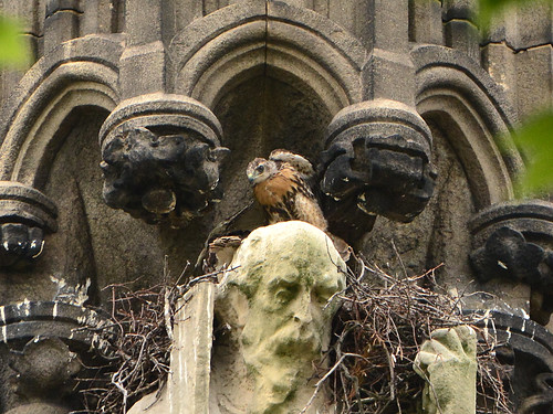 Cathedral Hawk Nestlings (0773)