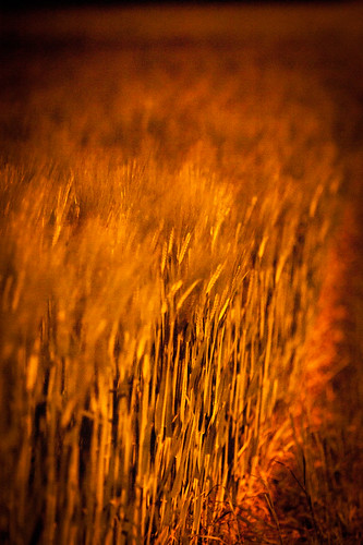 Wheat in Full Moonlight