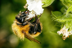 Bumblebee in Basil I