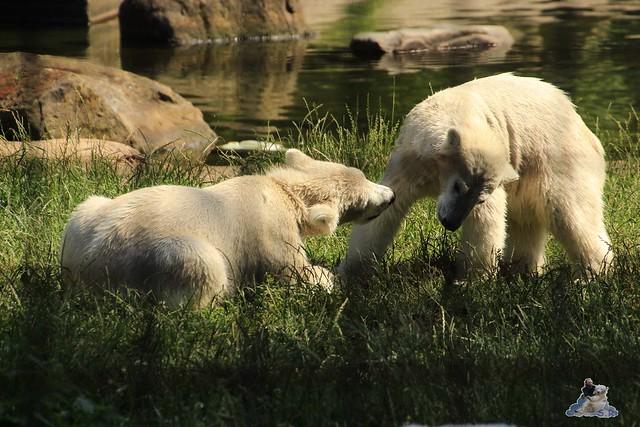 ouwehands dierenpark 30.06.2015  95
