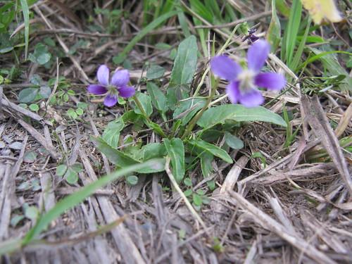 Viola betonicifolia plant2