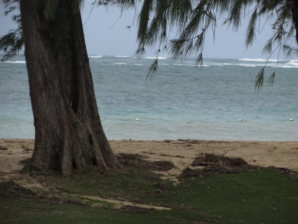 starr-170131-6630-Casuarina_equisetifolia-view_ocean_walves-Kanaha_Beach-Maui
