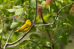 animal, eurasian golden oriole, flower, branch, fauna, finch, beak, bird, wildlife,