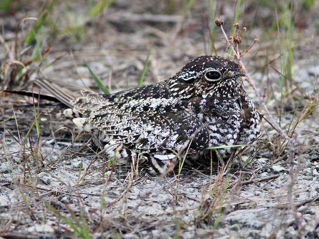 Common Nighthawk 20130527