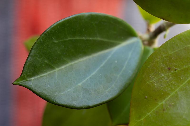 Hoya subquintuplinervis (SRQ 3051)