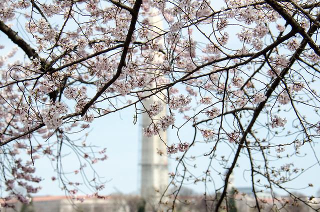 Cherry Blossoms + Washington Monument