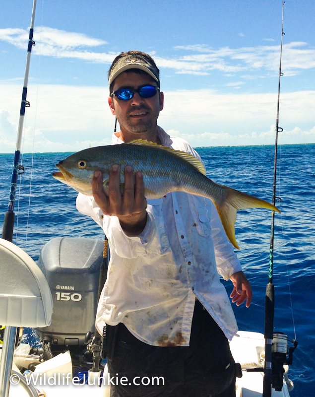 Big Yellowtail Snapper in the Florida Keys