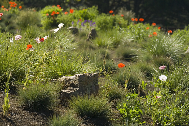 SFBG poppies and rocks h