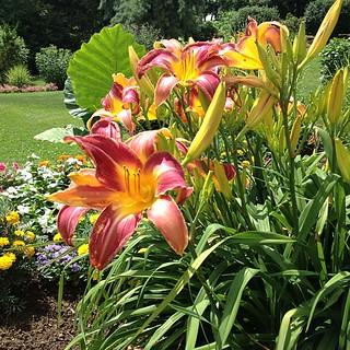 Day lilies #flowergram #nofilter