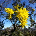 Wattle Day Coming Up - 1st September by ACT Parks & Conservation Service