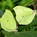 Small photo of Brimstone. Gonepteryx rhamni