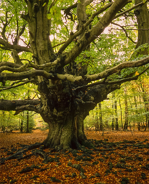 Harry Potter Tree - (Goblet of Fire film) Ashridge Forest ...
