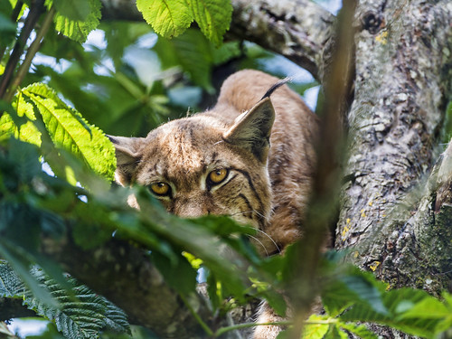 Female lynx observing from the tree by Tambako the Jaguar