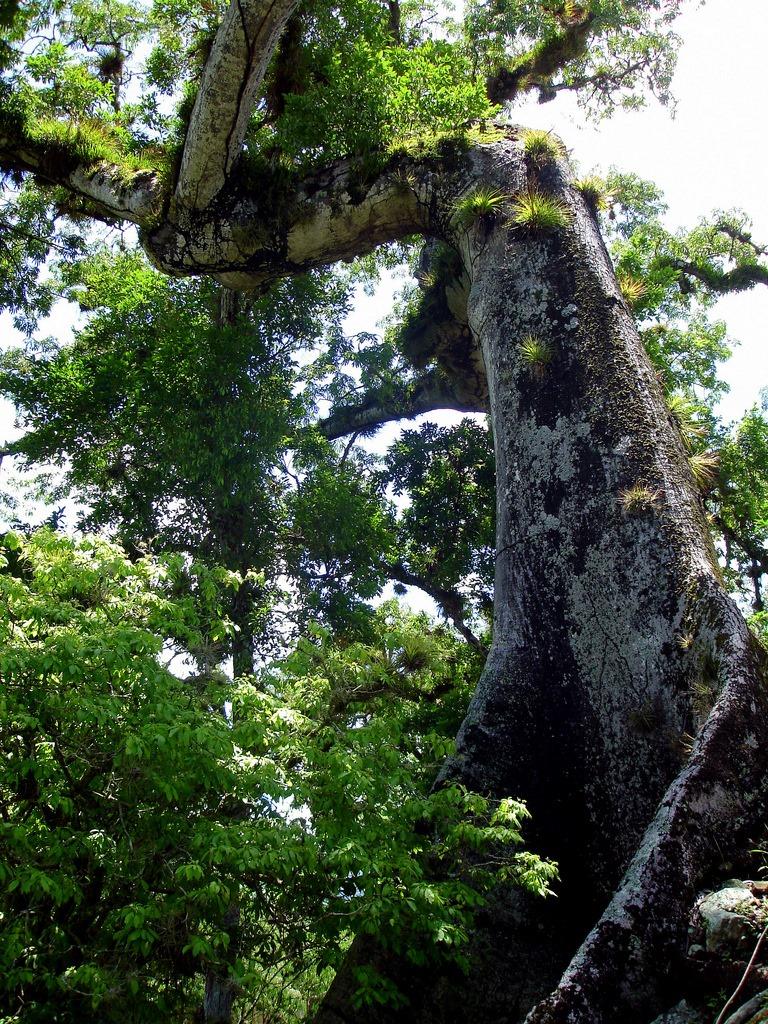 9. Epifitos sobre los gigantes de la selva. Autor, Mike Fox