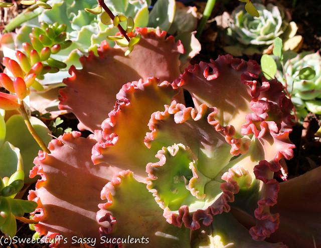 Ruffled hybrid Echeveria
