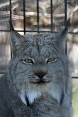 Canada Lynx - Pueblo Zoo