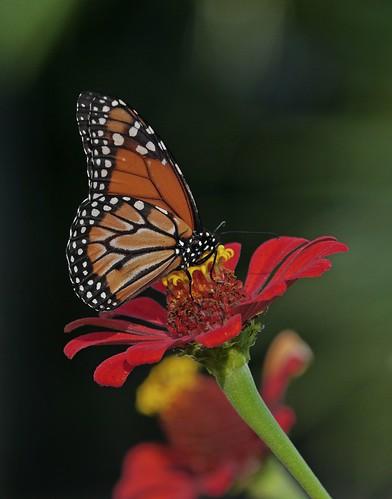 Monarca en el Jardín Botánico 2014