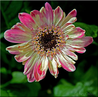 Gerbera Daisy Pot Plant (12/52/2014)