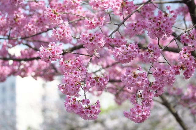 東京路地裏散歩 上野の桜 2014年3月29日