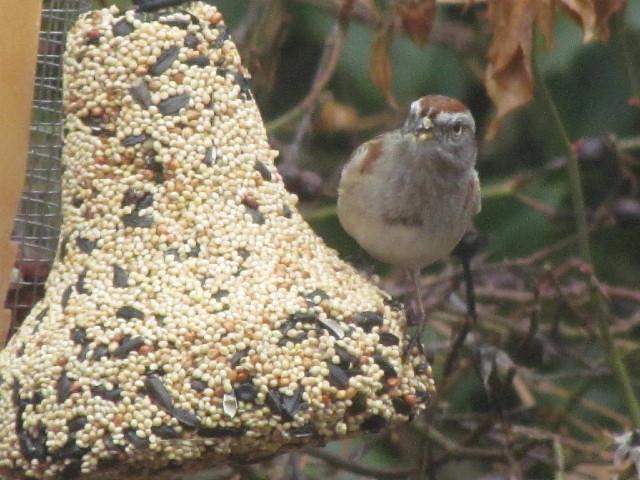 American Tree Sparrow 3:30:14