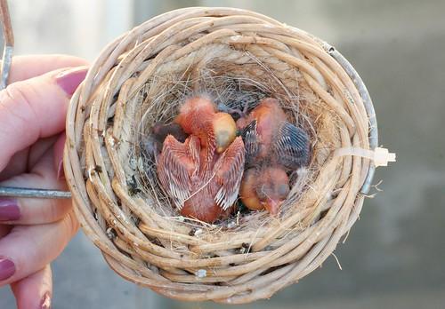 Nidada de cardenalitos