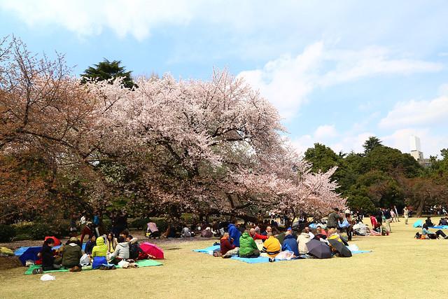 日本新宿御苑之櫻