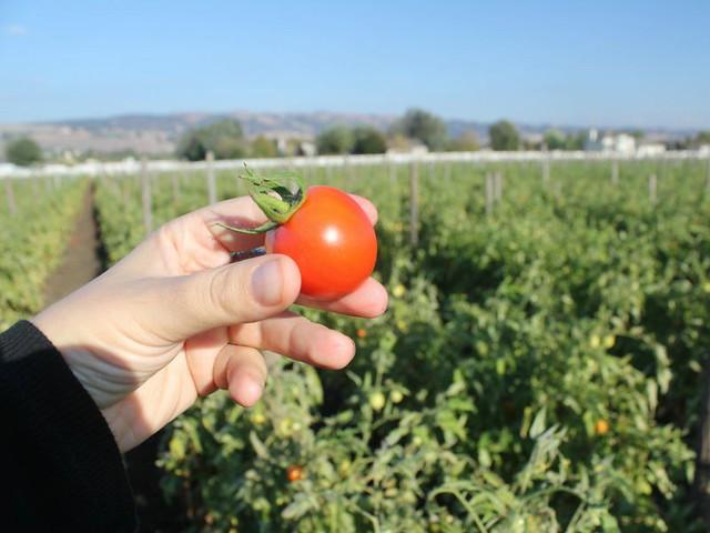 happyboy-tomato-diarioecologia.jpg