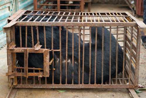 Peter was kept in an extremely small cage before being rescued, China 2013 (1)