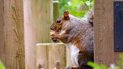 Squirrel eating a strawberry at Leighton Moss