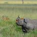 Black Rhinoceros, flehmen response -  3310b+ by teagden