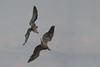 Lammergeier v Rüppell's griffon vulture