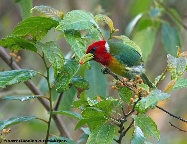 Red-headed Barbet (Eubucco bourcierii) - Savegre Hotel area, San José Province, Costa Rica - March 11, 2017